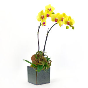 Palmer's Flowers: Orchid Planter (Double Large)